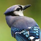 Bird calls thumbnail